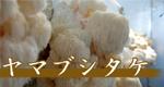 自家栽培ヤマブシタケ